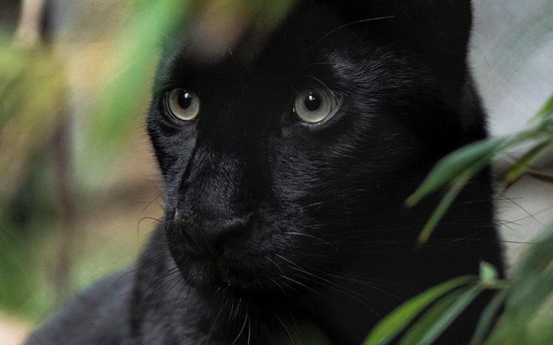 La Pantera Negra: La Pantera Negra Buenas Fotos: ANIMAL DE PODER